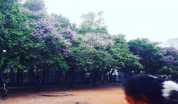 জারুল ফুলের বেগুনি রঙে সেজেছে ঢাকা বিশ্ববিদ্যালয় ক্যাম্পাস